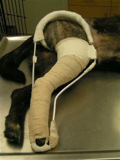 more definitive repair to fractures at Fox College Vet